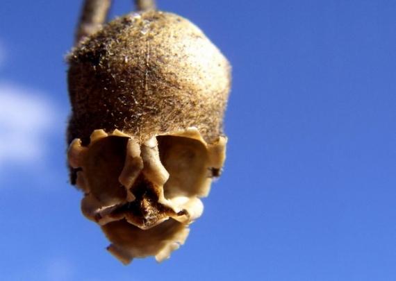 snapgdragon-seed-pod-skull-dragons-skull-3